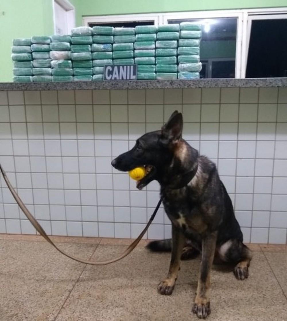 Cão farejador encontra 65 kg de cocaína durante operação policial e homem é preso no Piauí